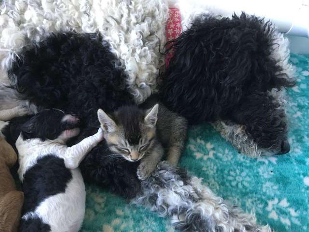 gatto-con-cani