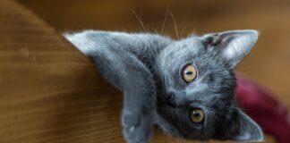 gattino di razza certosino
