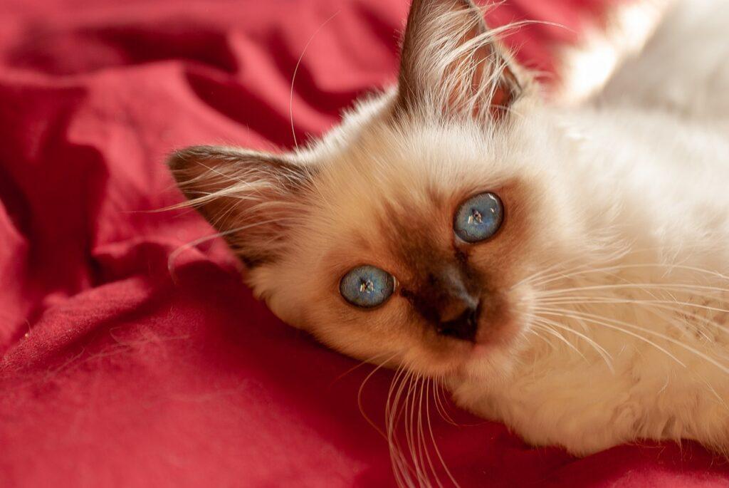 gattino sacro di birmania con baffi lunghi