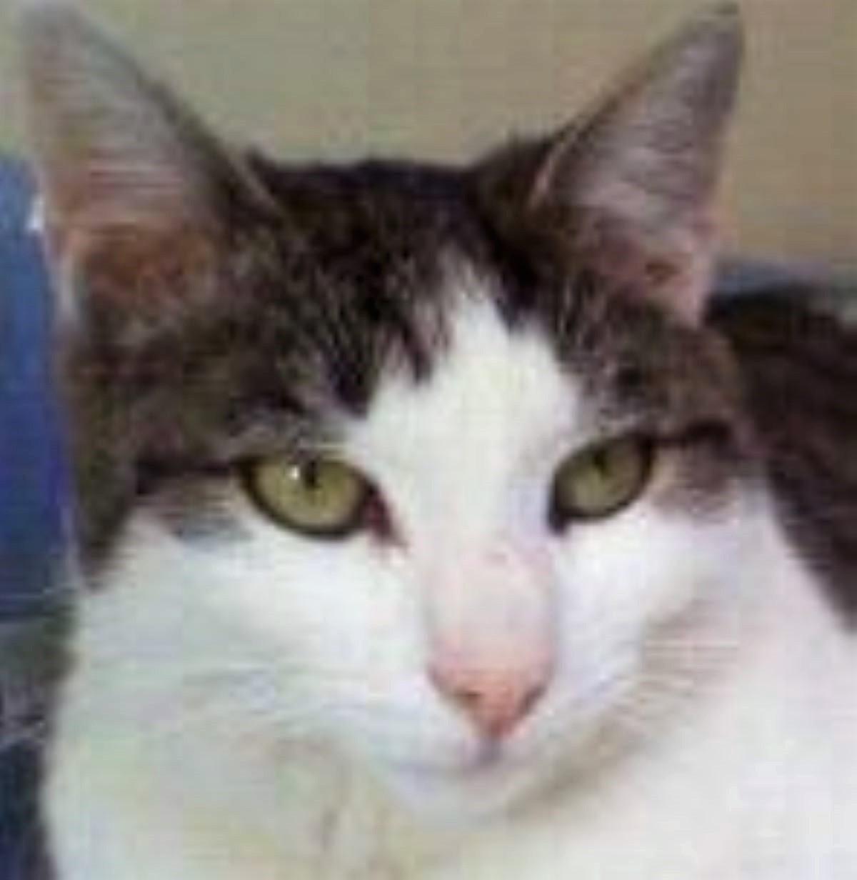 gatto-con-occhi-verdi