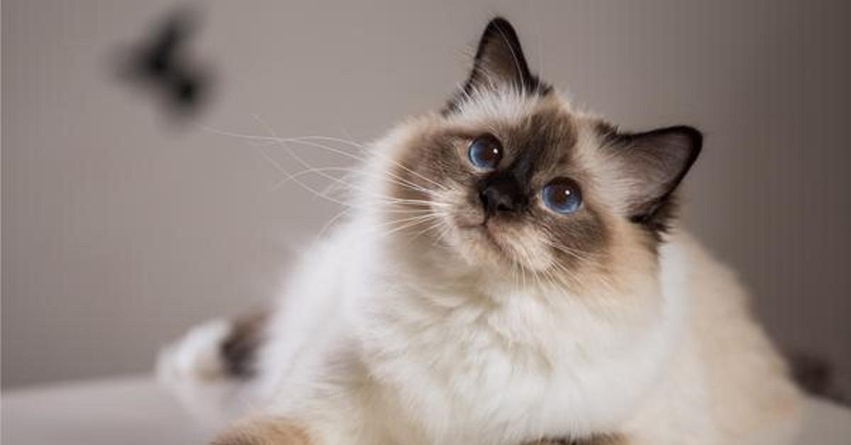gatto-birmano