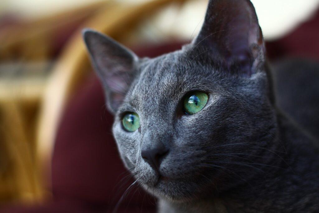 gatto blu di russia con occhi verdi