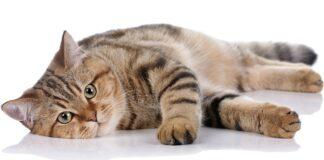 gatto in posa su sfondo bianco