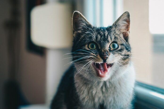 gatto con bocca aperta vicino a finestra