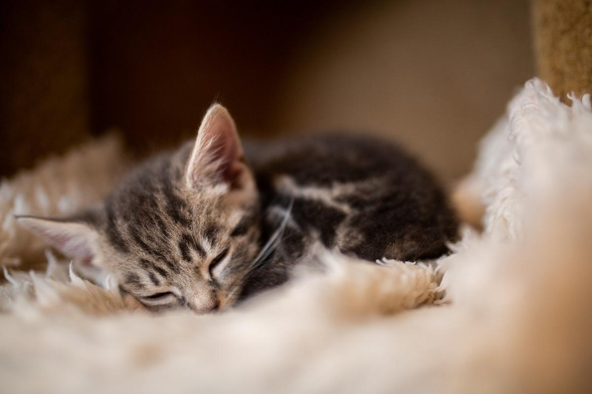 gattino su coperta