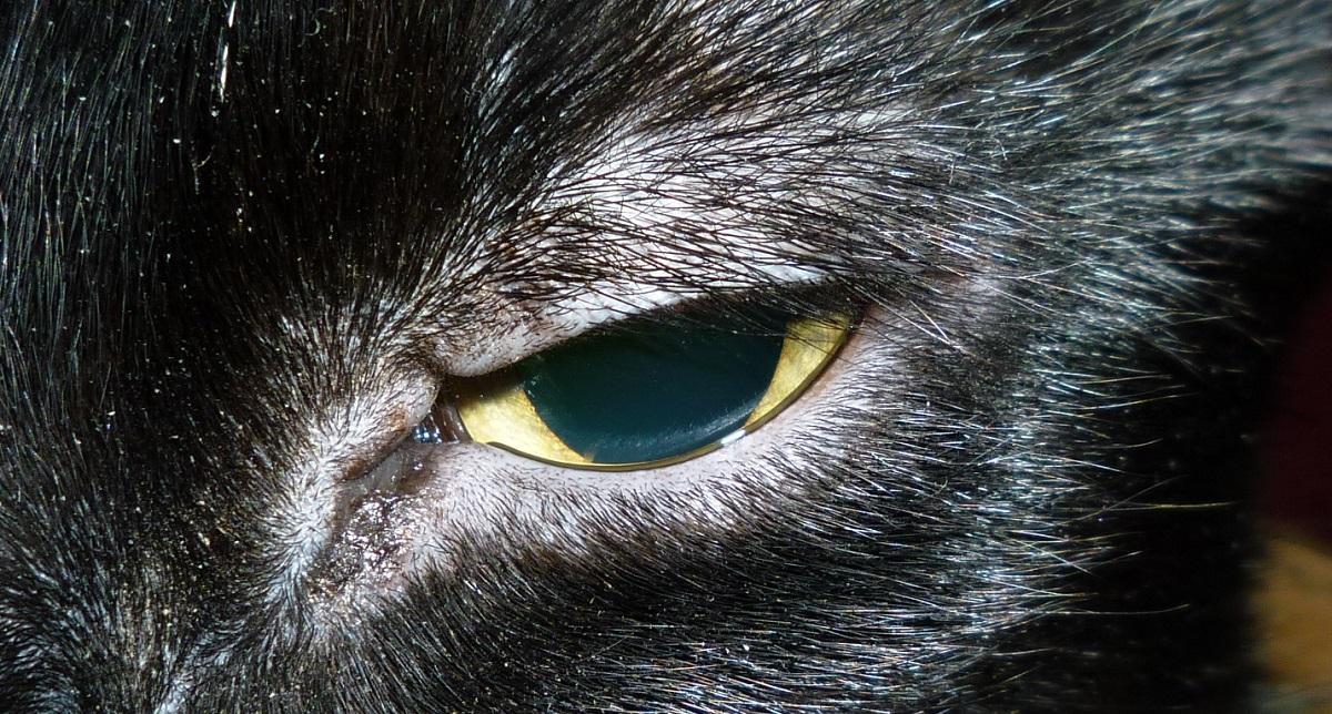 primo piano occhio infetto gatto