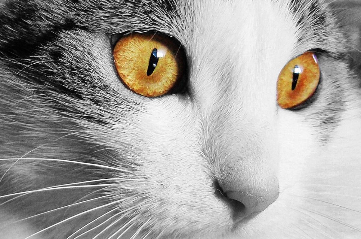primo piano occhi gatto