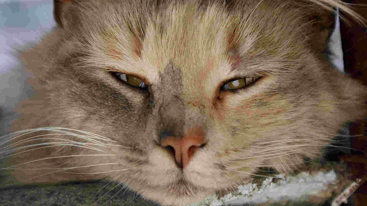gatto con terza palpebra in evidenza