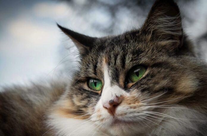 primo piano gatto