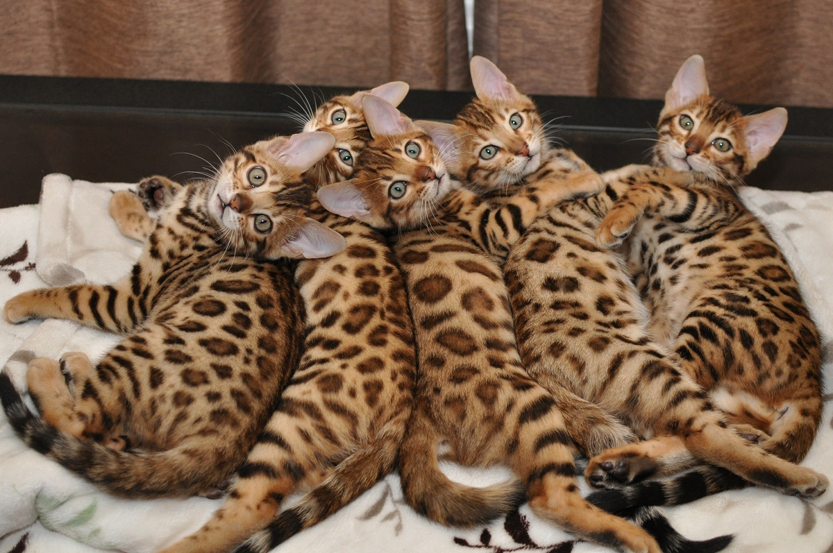 cinque gatti del bengala su letto