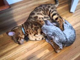 gatto del bengala e savannah lottano per terra