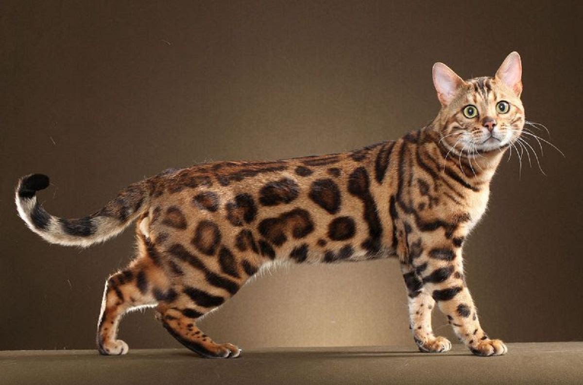 gatto del bengala sfondo scuro