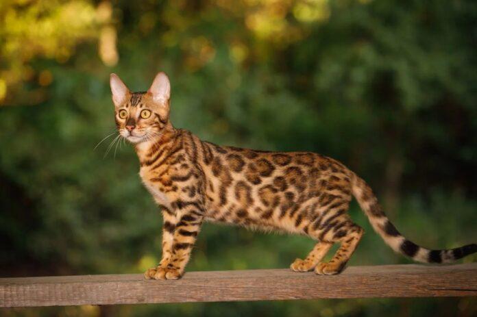gatto del bengala su ringhiera di legno