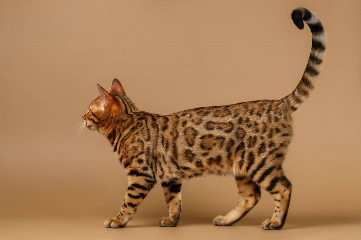 gatto del bengala sfondo marrone