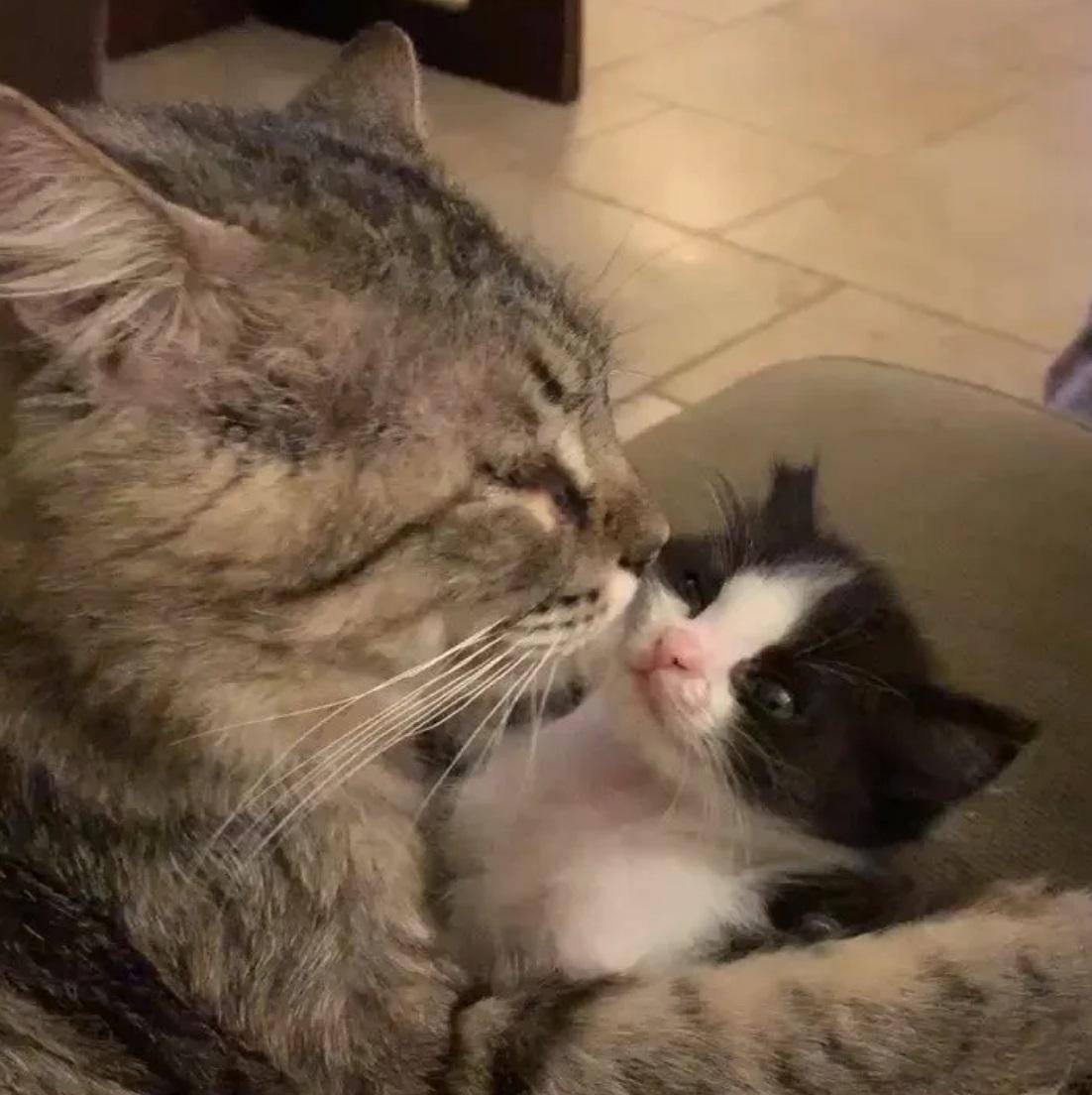 gatto-che-lecca-gattino