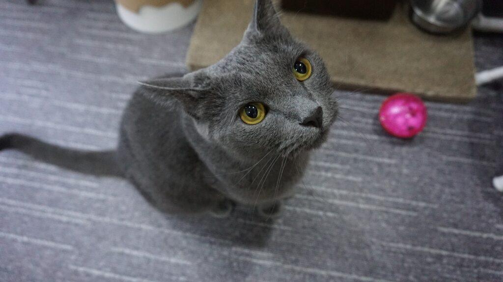 gatto di razza blu di russia
