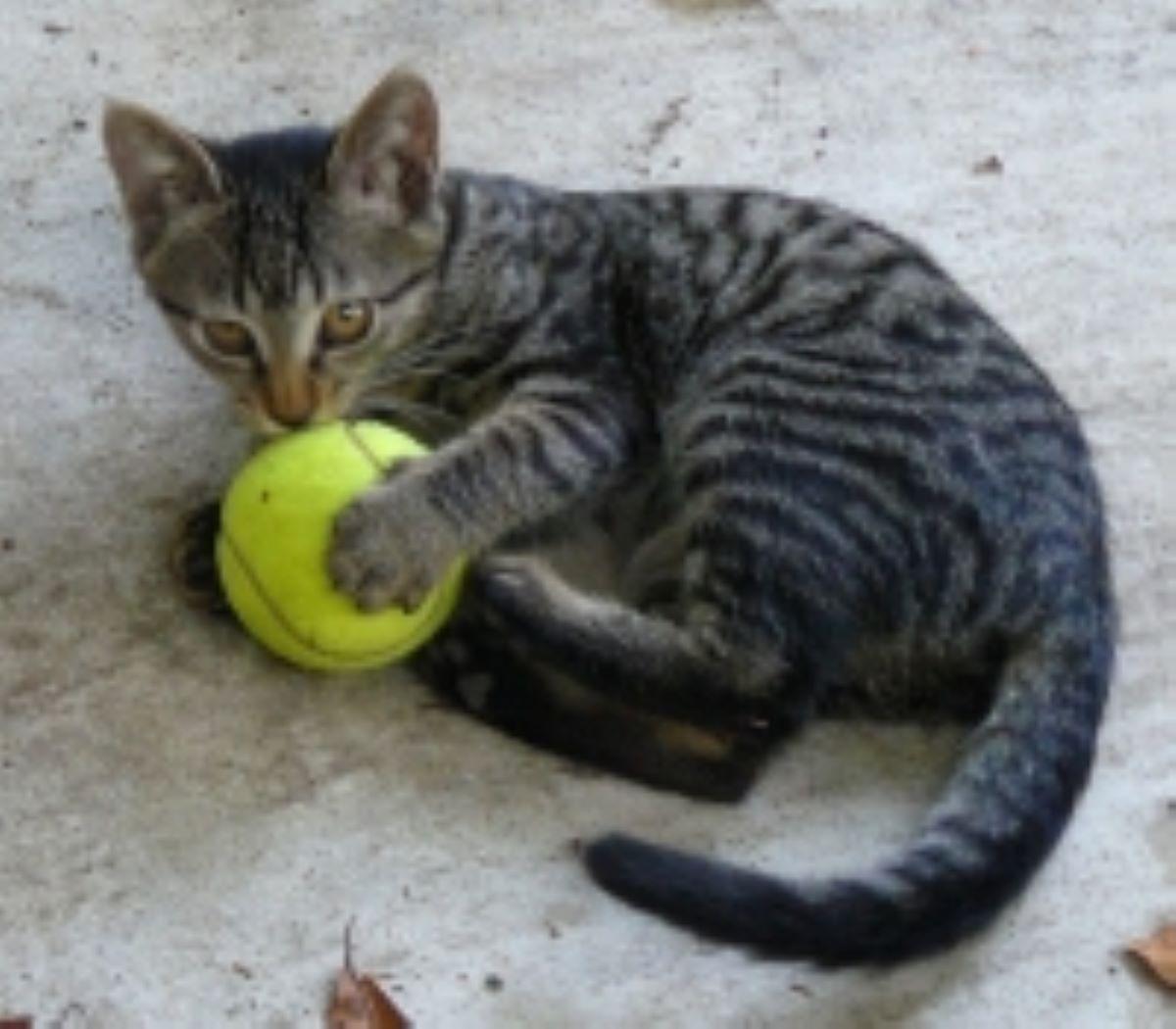 gatto-con-pallina-ping-pong