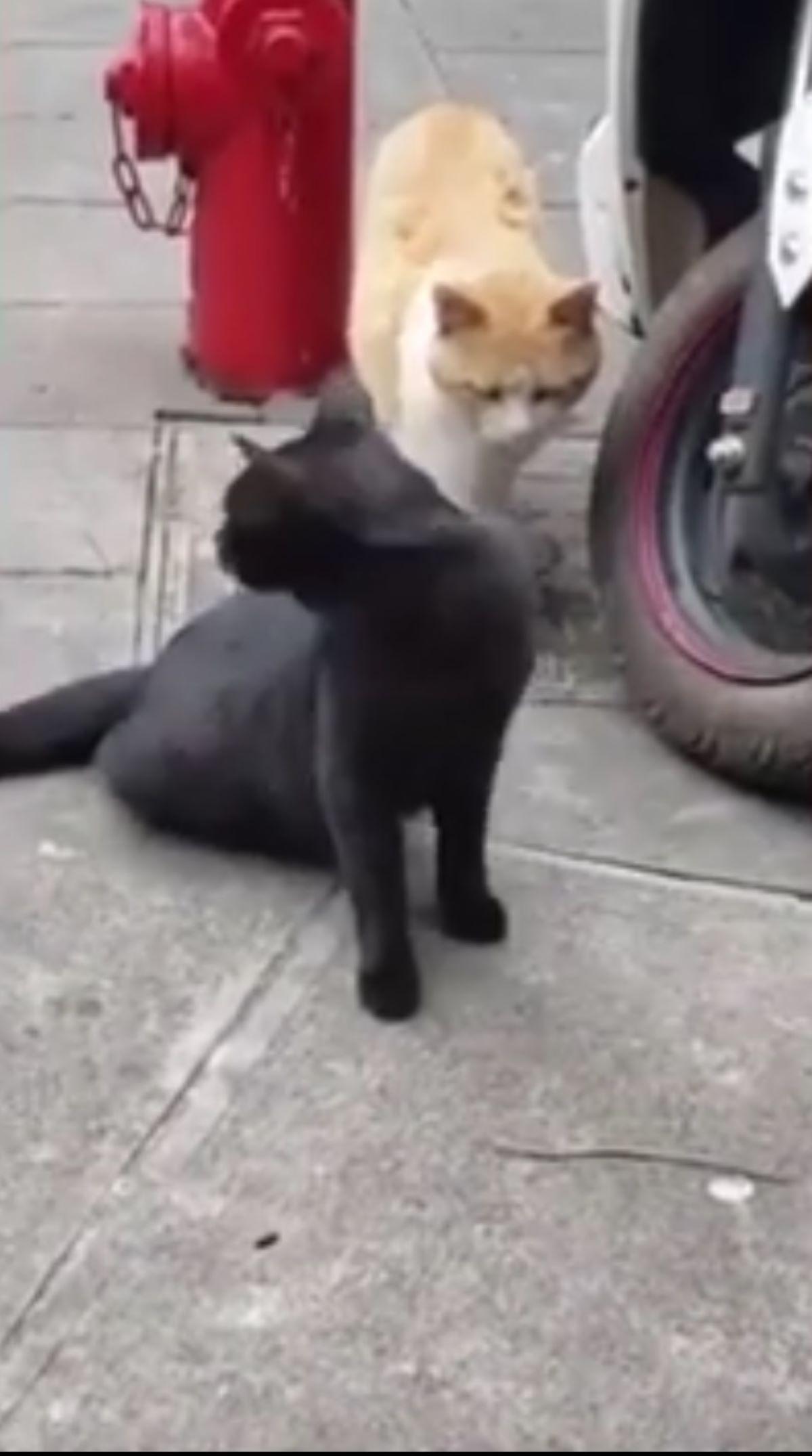 gatto-nero-che-guarda-dietro
