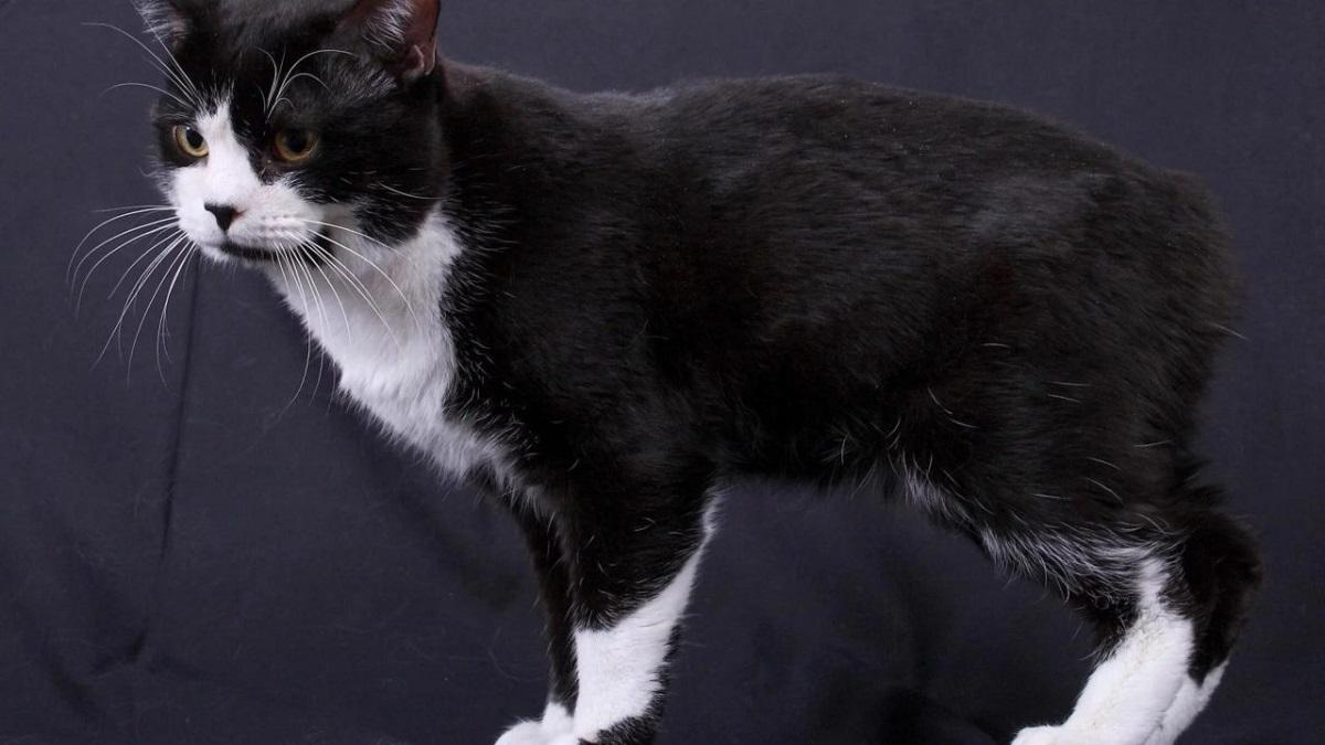 gatto manx bianco e nero