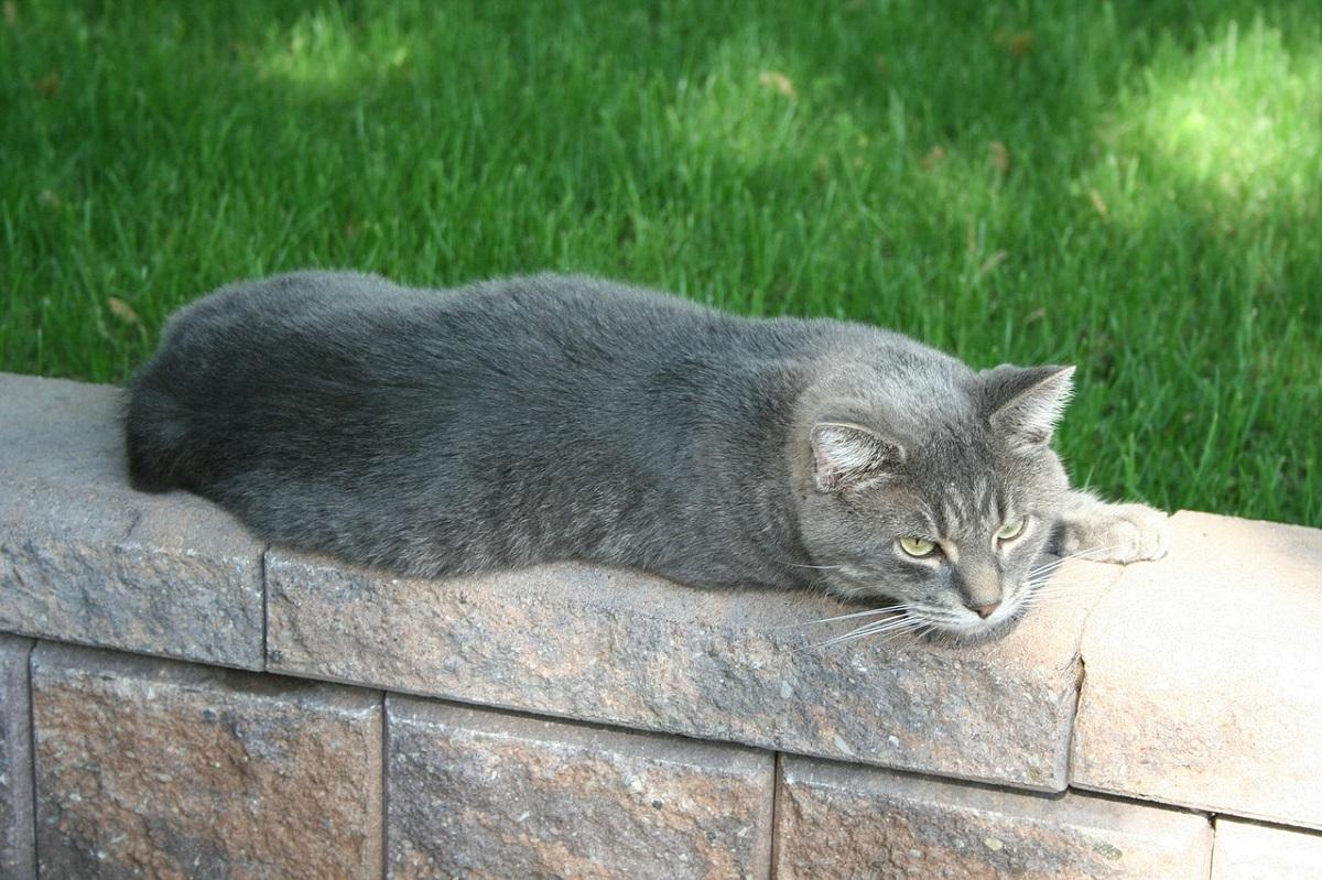 gatto manx su muretto
