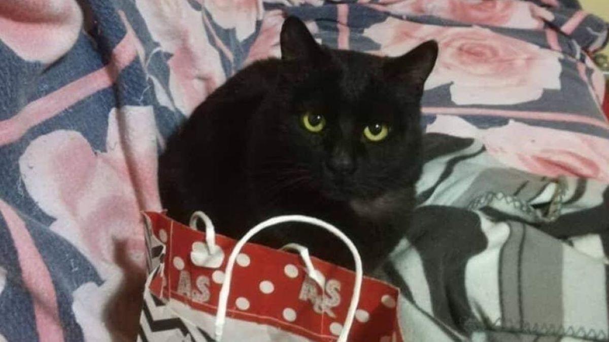 gatto-nero-su-divano