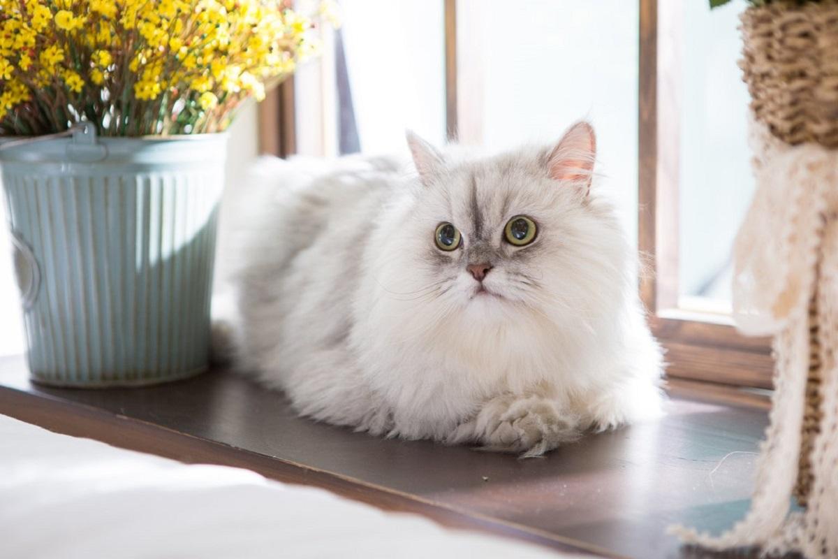gatto persiano su davanzale