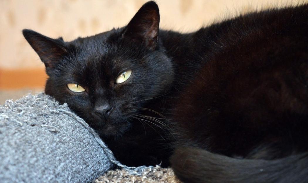 gatto-nero-che-fissa