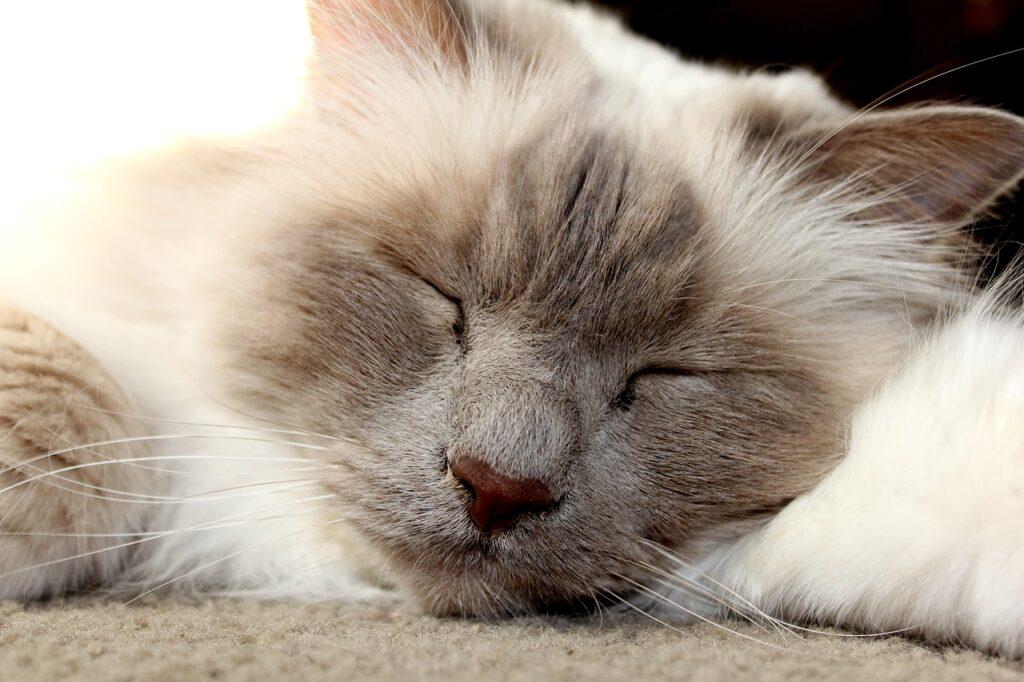 gatto sacro di birmania addormentato