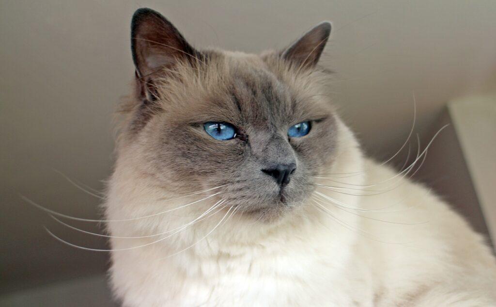 gatto sacro di birmania con occhi blu