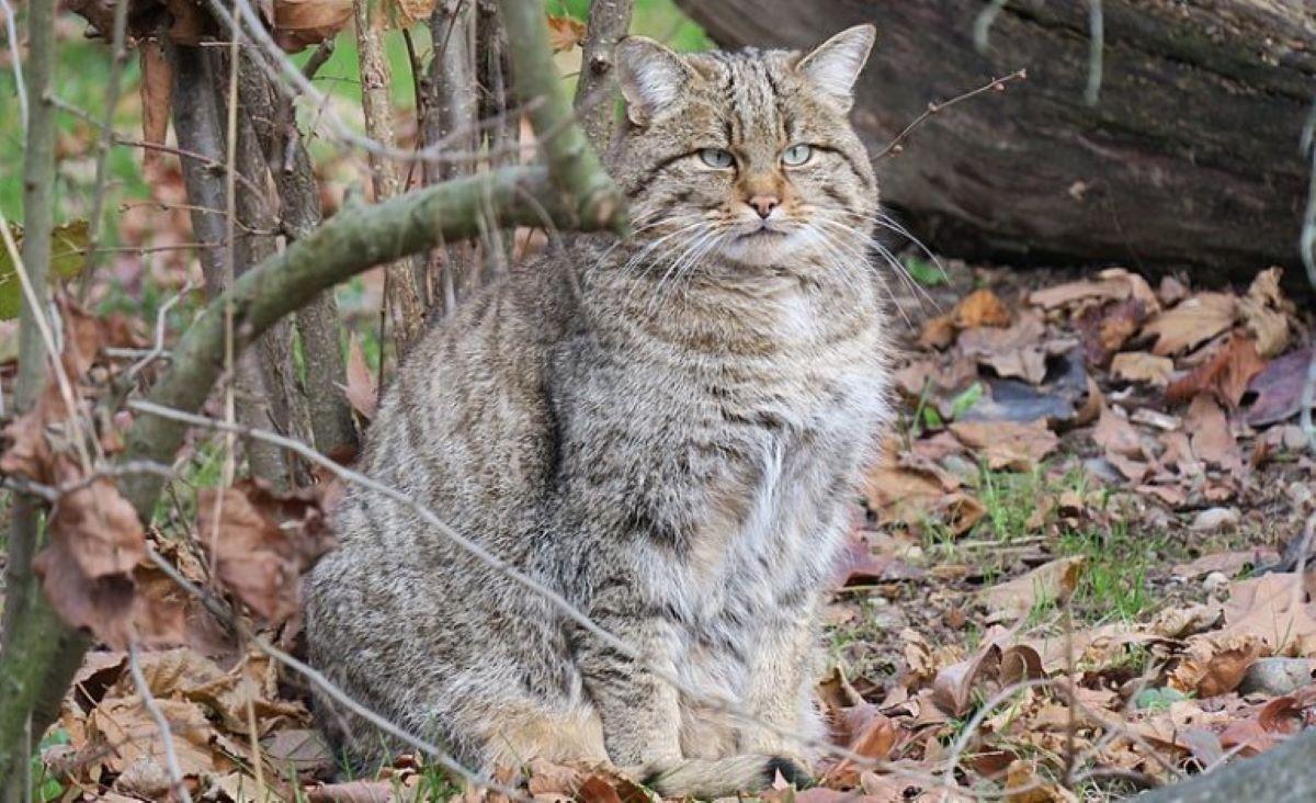 gatto-selvatico-sul-bosco