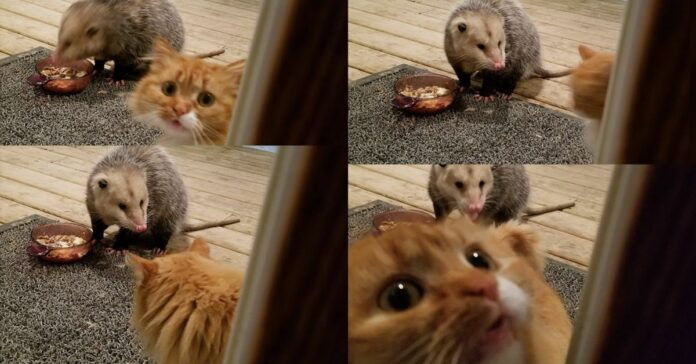 gatto-e-opossum