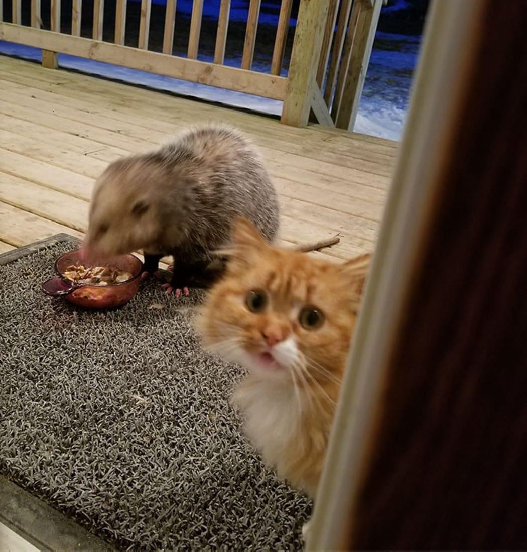 gatto-che-guarda-e-opossum-che-mangia