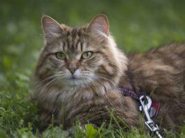 gatto siberiano con guinzaglio