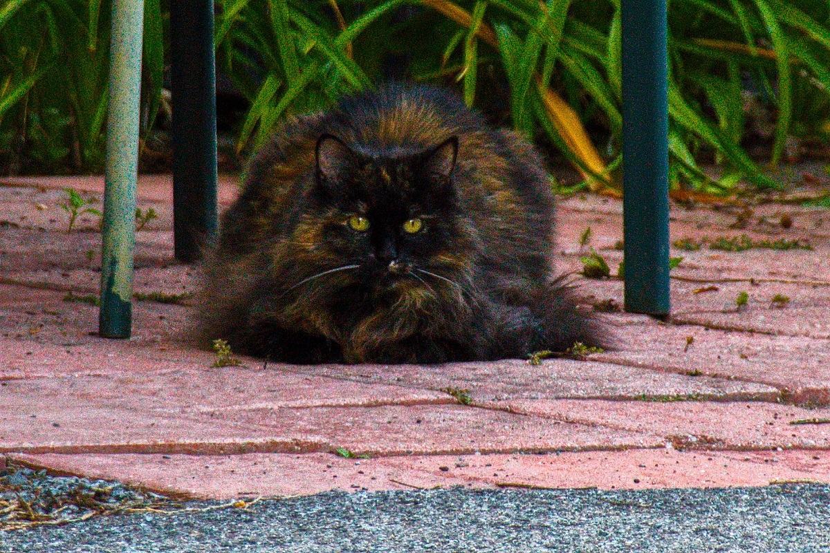 gatto siberiano nero