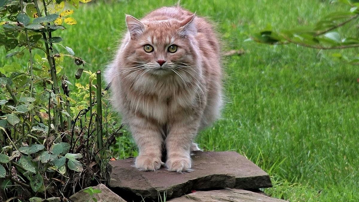 gatto siberiano su una roccia