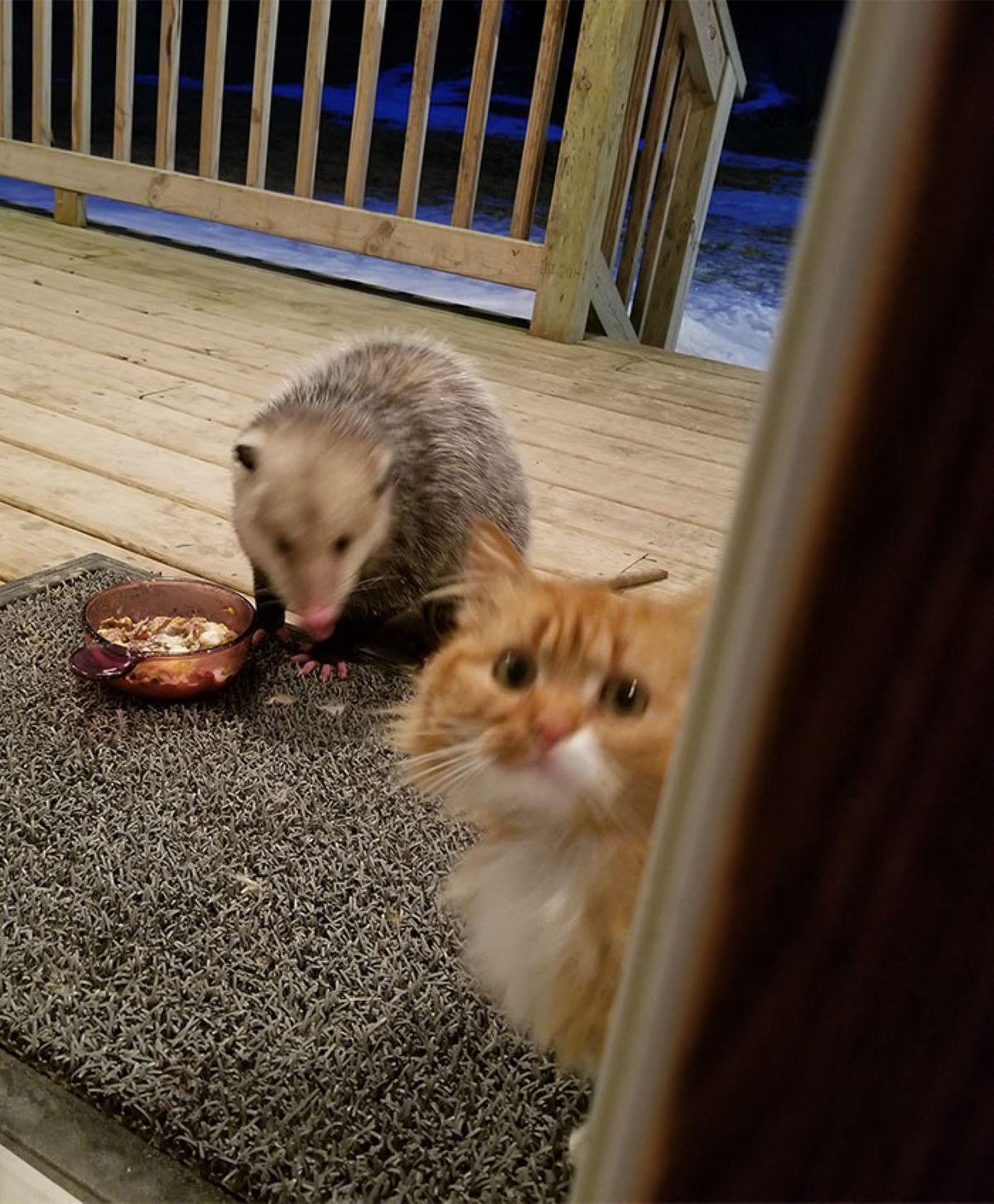 gatto-bianco-e-arancione-con-opossum