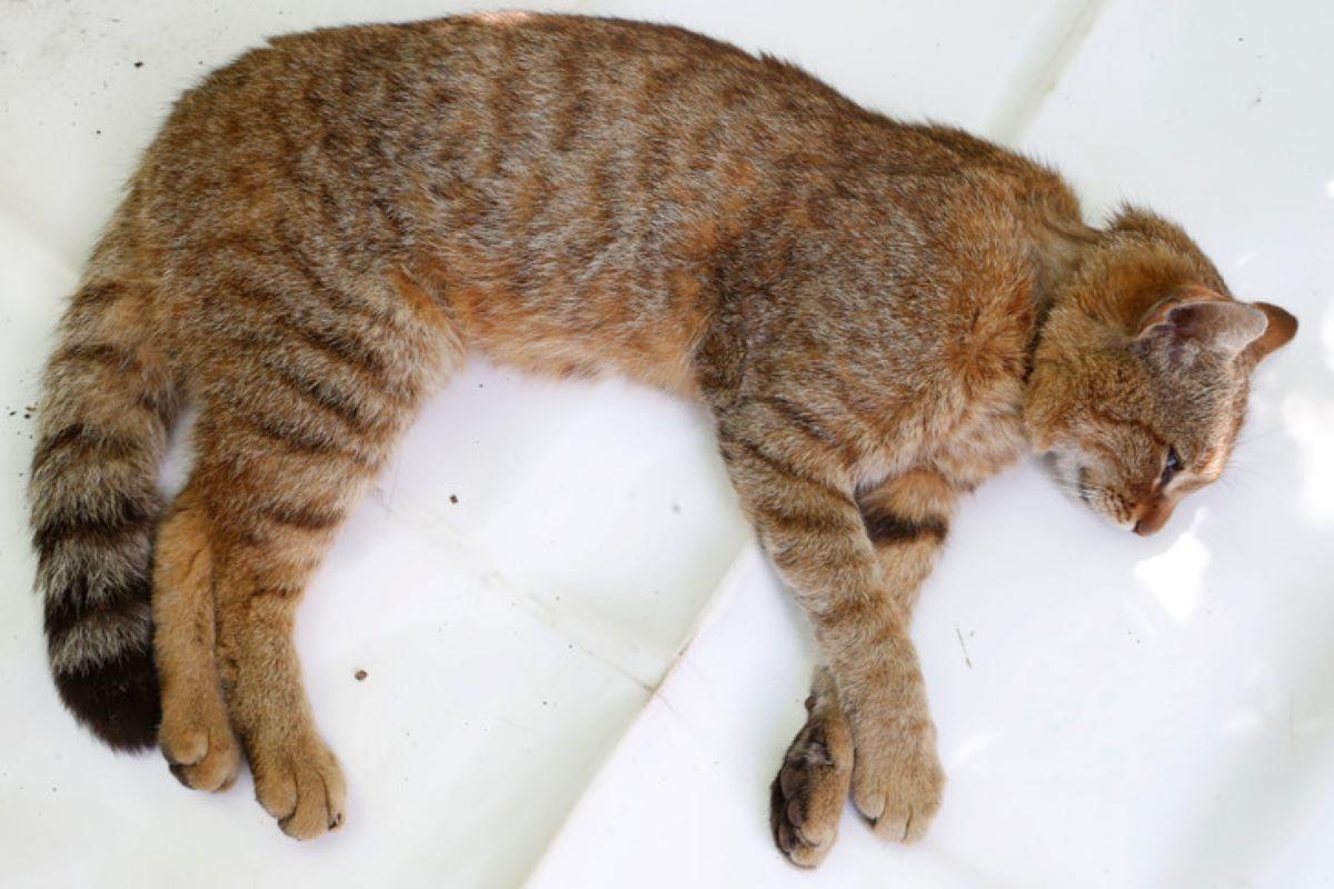 gatto-selvatico-su-lenzuolo-bianco