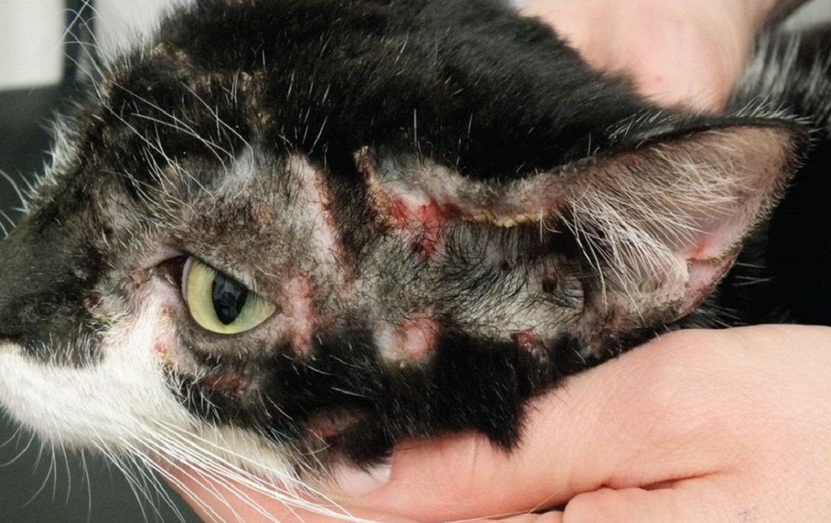 caso di EGC alle orecchie del gatto