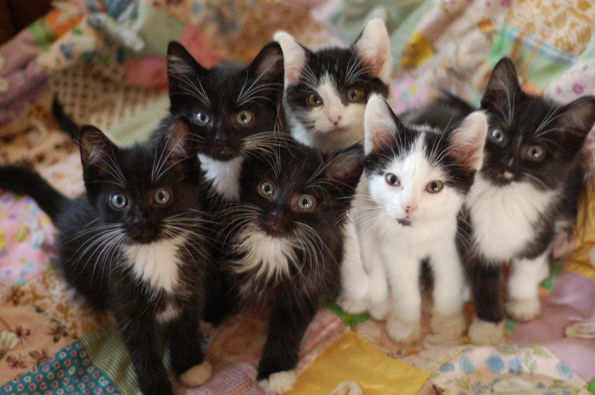 cucciolata di 6 gattini