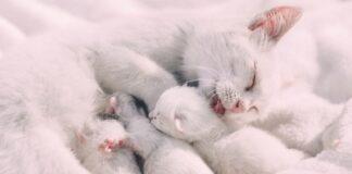 cucciolata di gattini bianchi con la madre