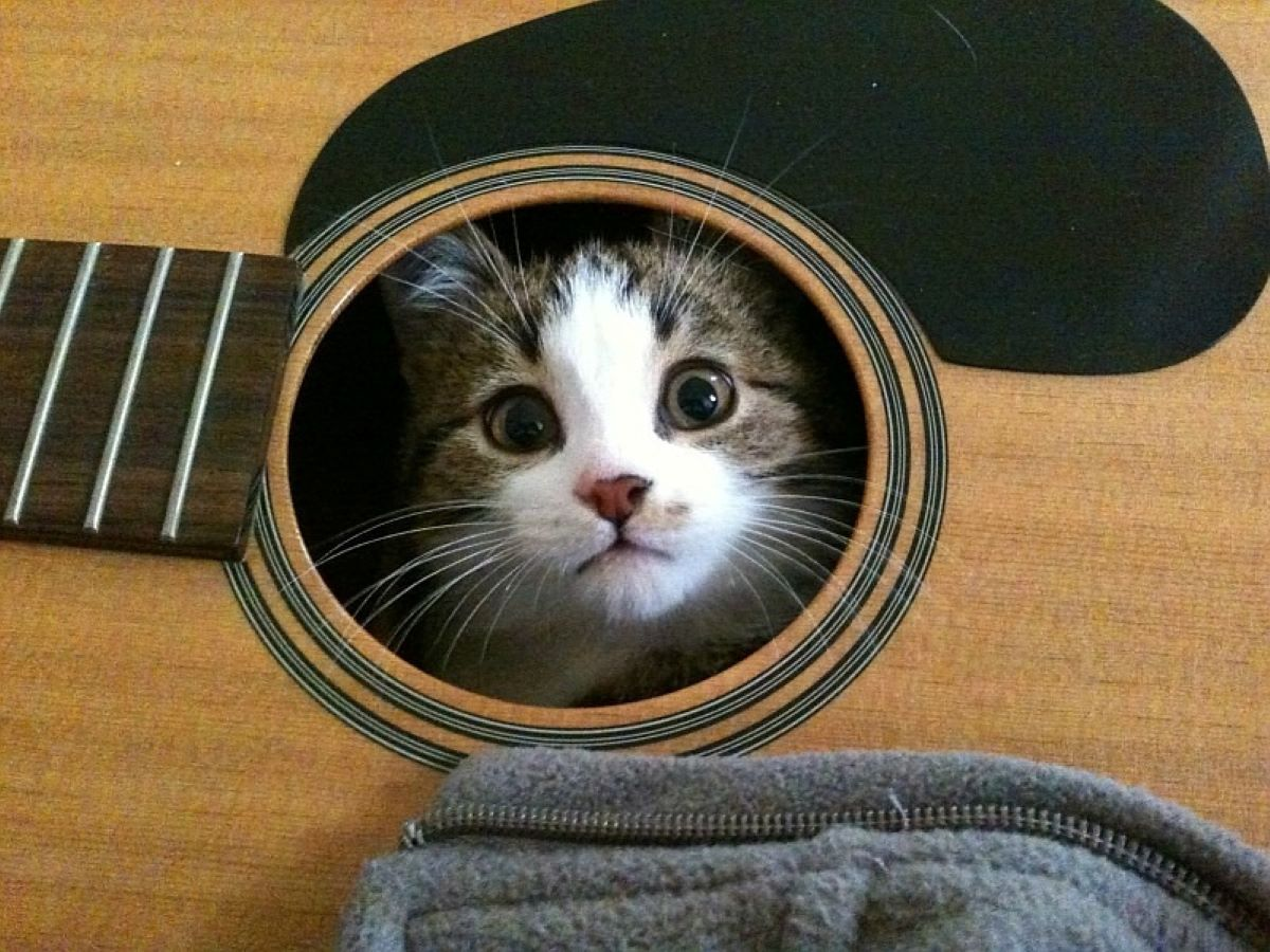 gatto-dentro-a-chitarra