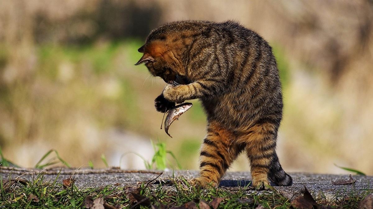 gatto mangia pesce crudo