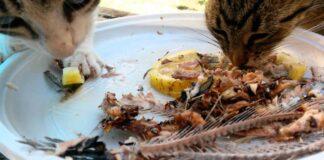 gatti mangiano pesce con lische