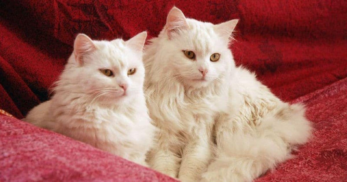 gatti-bianchi-su-drappeggio-rosso