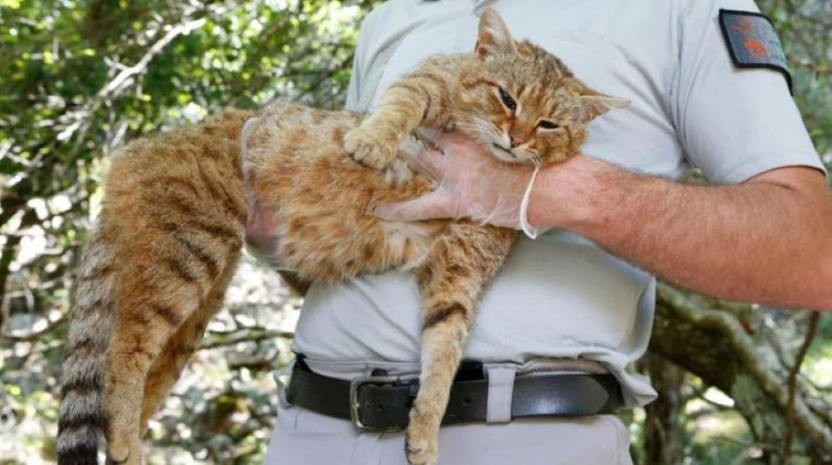 gatto-selvatico-in-braccio-ad-uomo
