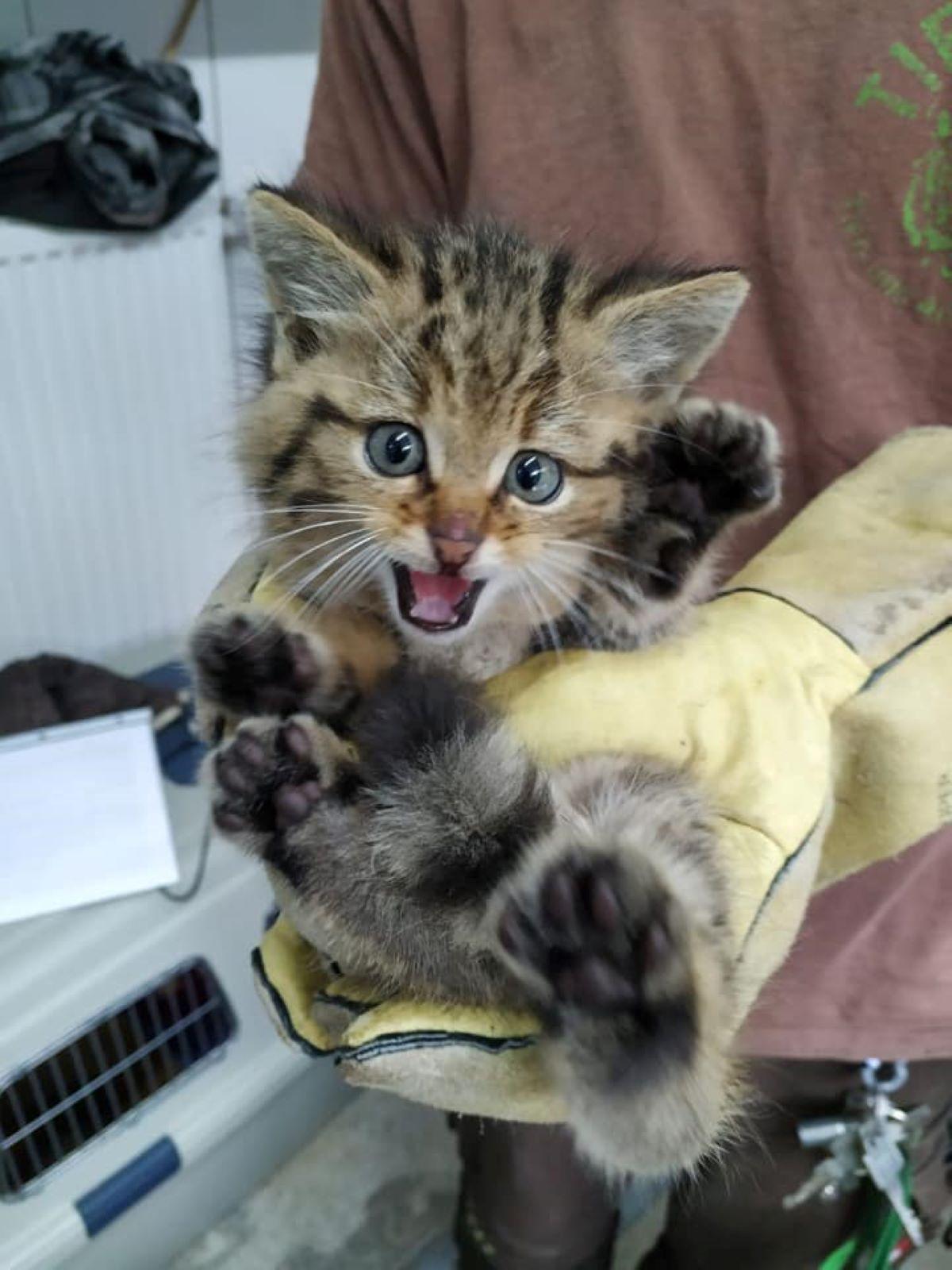 gatto-selvatico-con-guanti