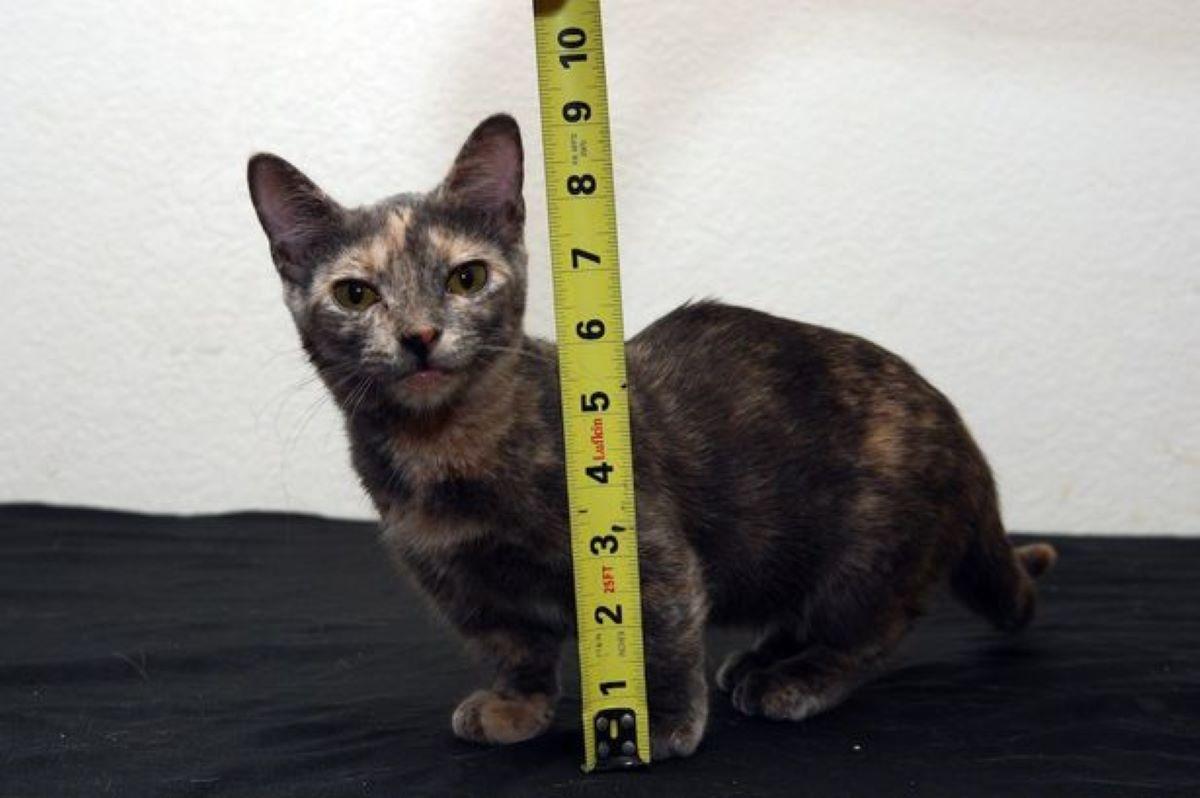 gatto-con-centimetro