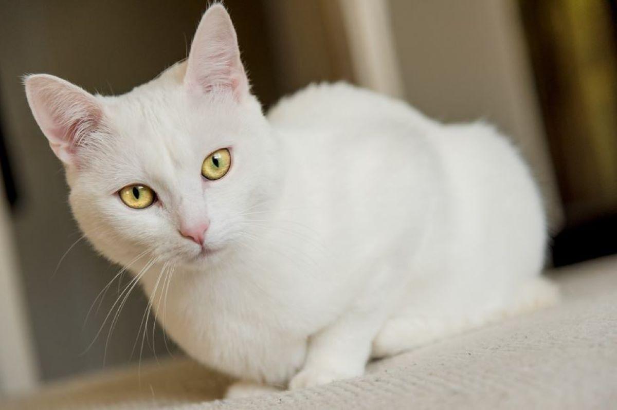 gatto-bianco-con-sguardo-fisso