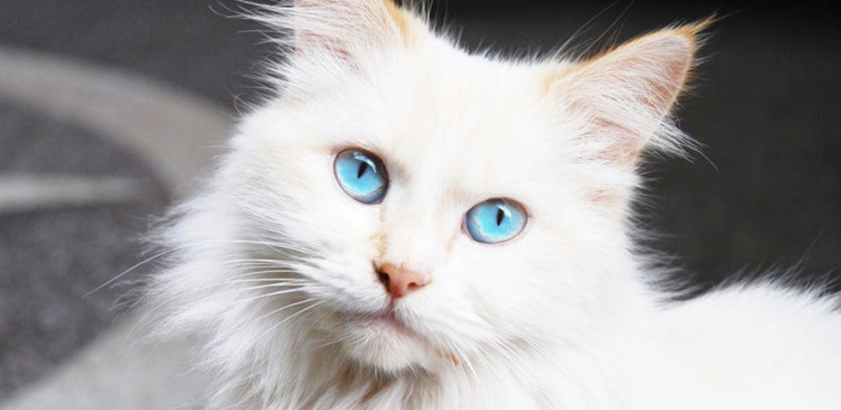 gatto-bianco-con-occhi-azzurri
