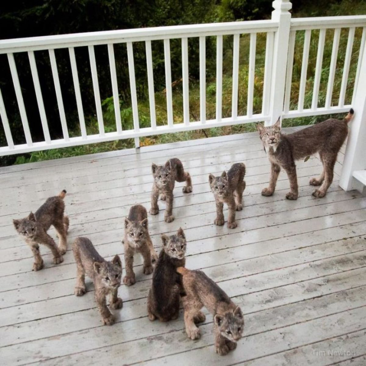 famiglia-di-linci